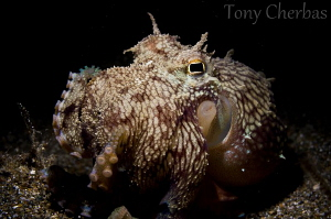 Lil' Monster: Coconut Octopus eating a bivalve (lit with ... by Tony Cherbas 